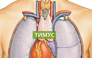 орудовала несколько где находится тимус в человеческом теле фото можете пообщаться своим