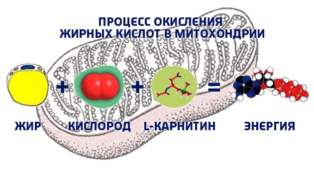 как-л-карнитин-превращает-жир-в-энергию